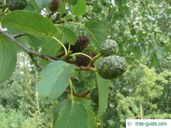 italian alder (Alnus cordata) fruit