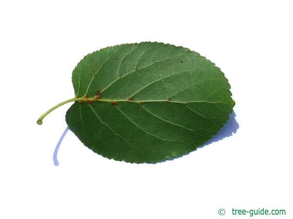 italian alder (Alnus cordata) leaf underside