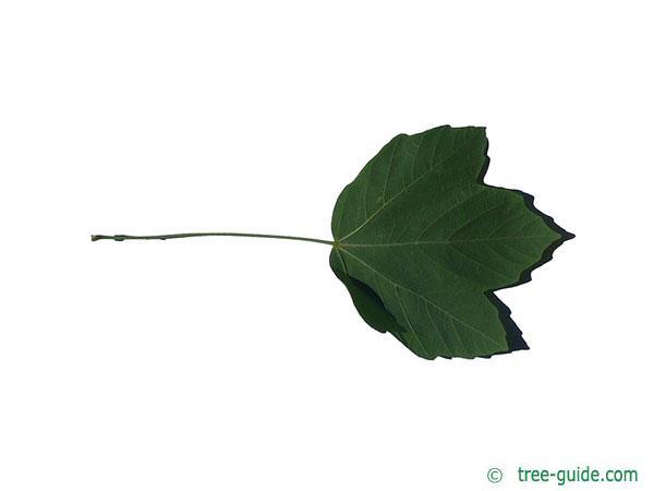 italian maple (Acer opalus) leaf underside