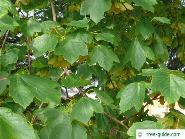 italian maple (Acer opalus) leaves