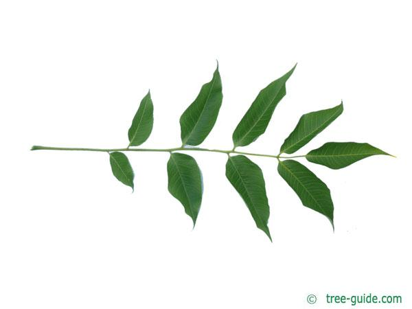japanese cork tree (Phellodendron japonicum) leaf