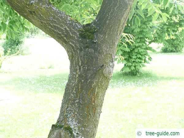 japanese cork tree (Phellodendron japonicum) stem