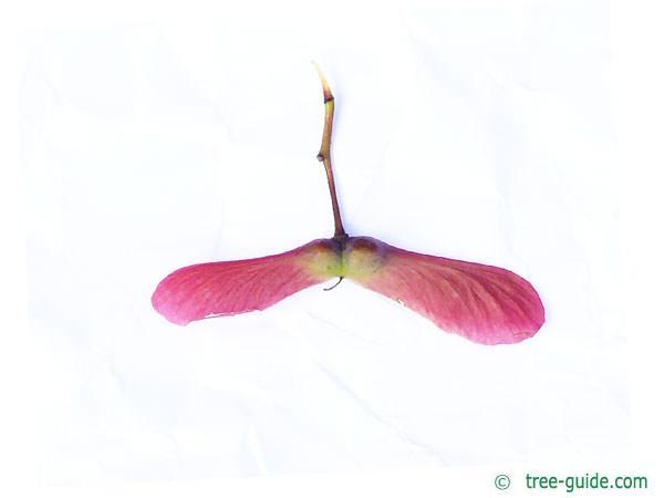 japanese maple (Acer palmatum 'Ozakazuki') fruit