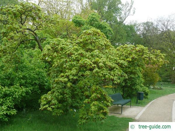 japanese maple (Acer palmatum 'Ozakazuki') tree