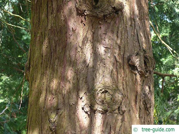 japanese thuja (Thuja standishii) trunk / bark