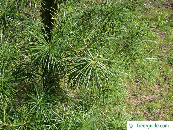japanese ambrella pine (Sciadopitys verticillata) branch