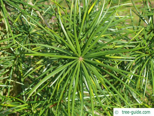 japanese ambrella pine (Sciadopitys verticillata) needles