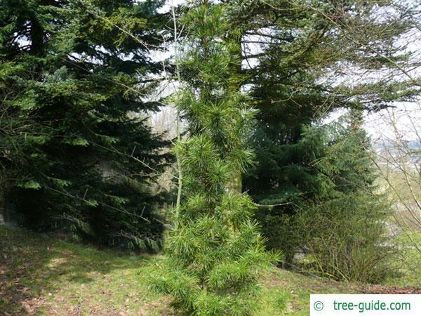 japanese ambrella pine (Sciadopitys verticillata) tree