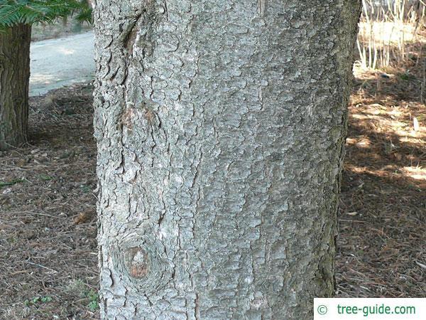 jersey pine (Pinus virginiana) trunk / bark