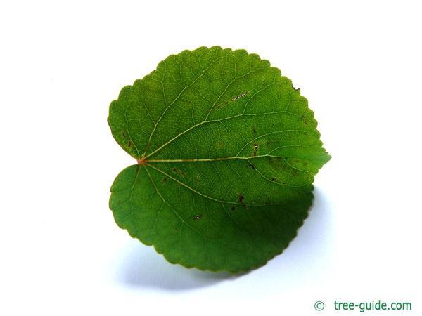 katsura (Cercidiphyllum japonicum) leaf