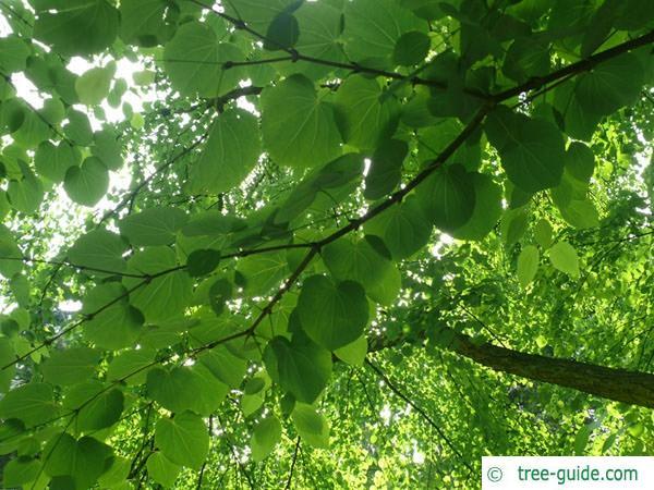 katsura (Cercidiphyllum japonicum) leaves