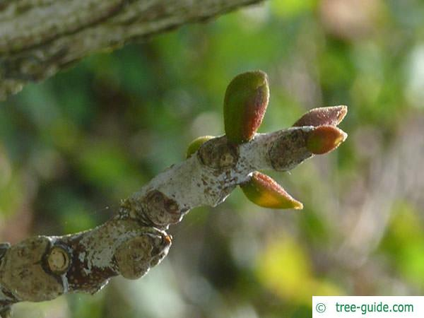 kentucky coffee tree (Gymnocladus dioicus) buds April