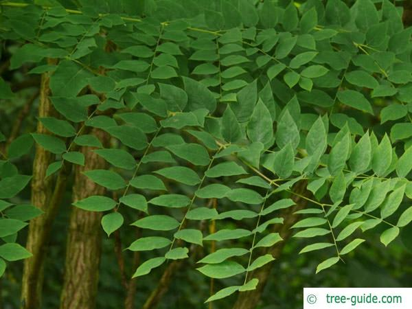 kentucky coffee tree (Gymnocladus dioicus) leaves