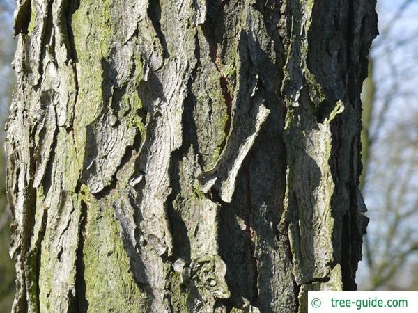 kentucky coffee tree (Gymnocladus dioicus) trunk / bark