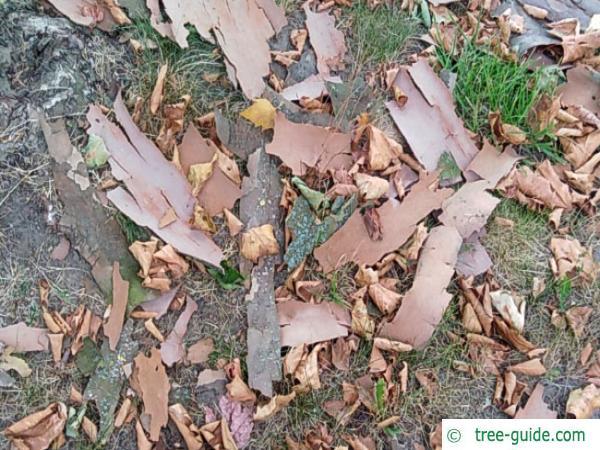 London plane tree exfoliated bark