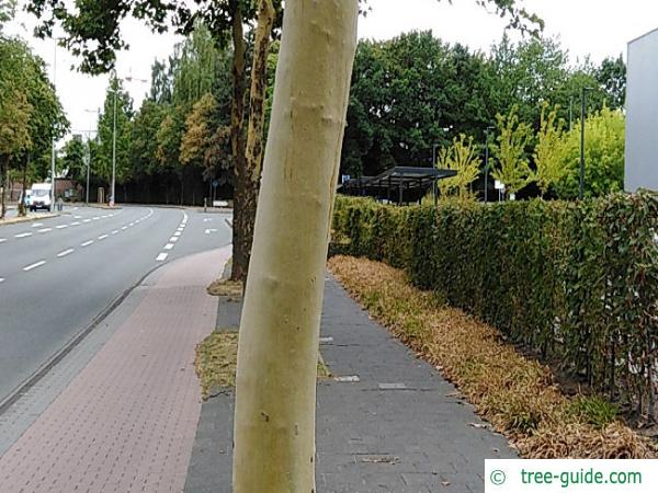 Plane tree without bark