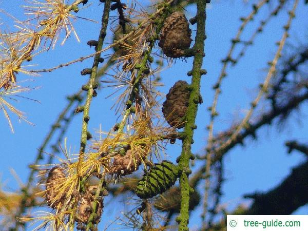 larch (Larix decidua) cones in autumn