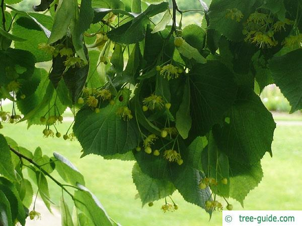 large leaved lime (Tilia platyphyllos) flower