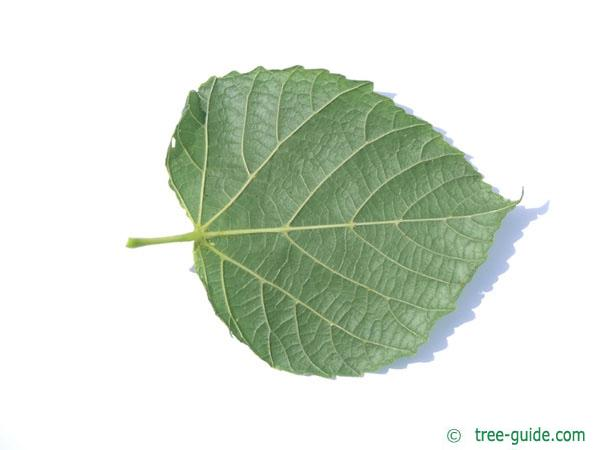 large leaved lime (Tilia platyphyllos) leaf underside