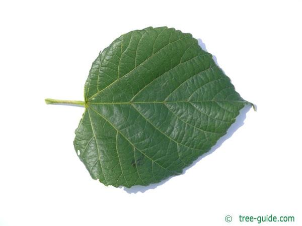 large leaved lime (Tilia platyphyllos) leaf