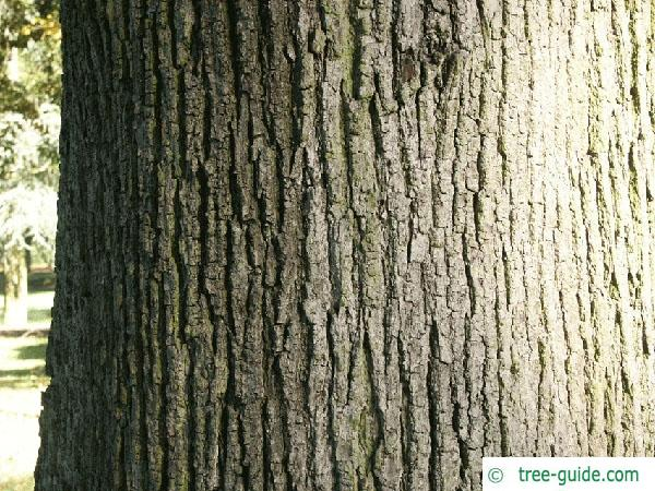 large leaved lime (Tilia platyphyllos) trunk / bark