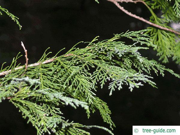 Lawson's Cypress (Chamaecyparis lawsoniana 'Glauca') branch
