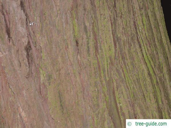 Lawson's Cypress (Chamaecyparis lawsoniana 'Glauca') trunk / bark