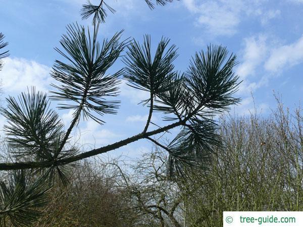 limber pine (Pinus flexilis) branch tip