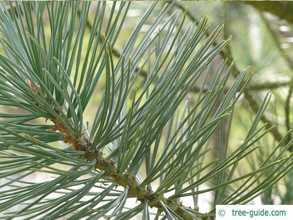 limber pine (Pinus flexilis) branch