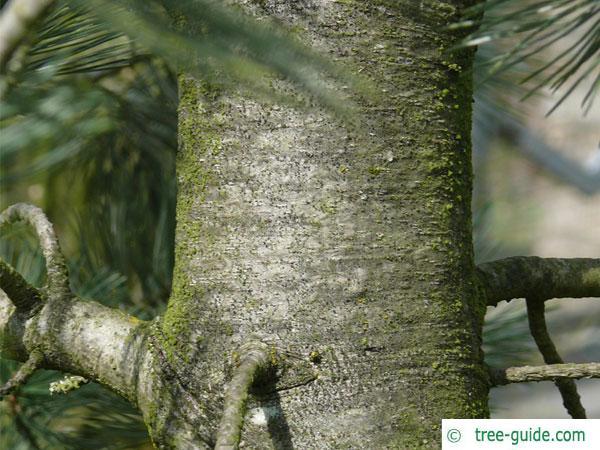 limber pine (Pinus flexilis) trunk / bark