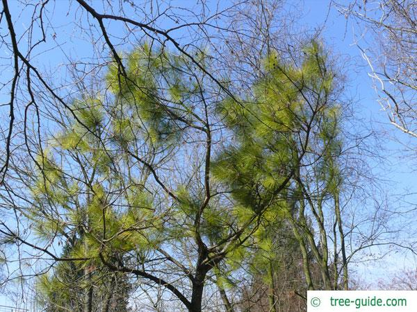 loblolly pine (Pinus taeda) tree