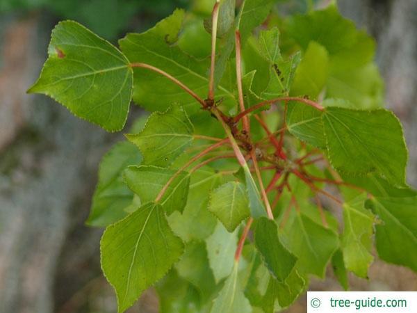lombardy poplar (Populus nigra 'Italica') budding