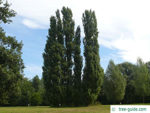 lombardy poplar (Populus nigra 'Italica') trees in summer