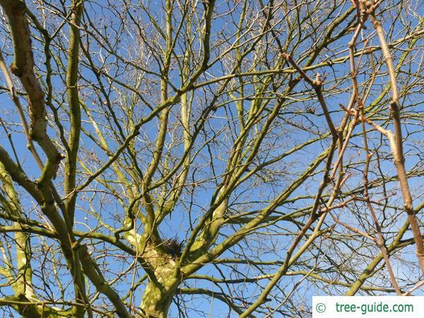 london plane tree (Platanus acerifolia) crown winter