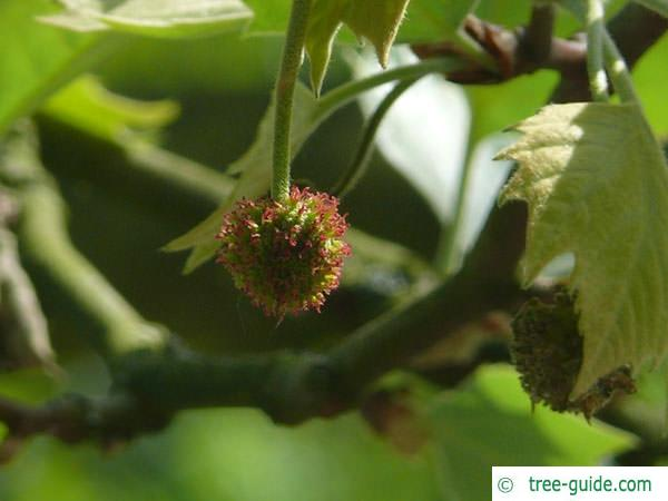 london plane tree (Platanus acerifolia) flower