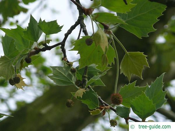 london plane tree (Platanus acerifolia) flowers