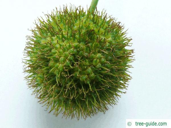 london plane tree (Platanus acerifolia) fruit zoom