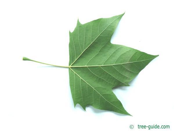 london plane tree (Platanus acerifolia) leaf underside