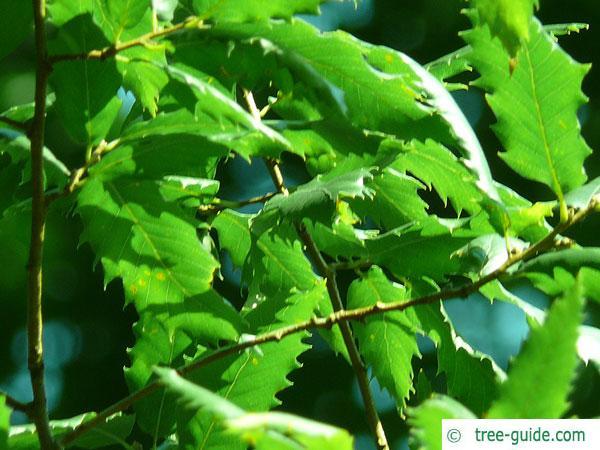 macedonian oak (Quercus macedonicus) leaves