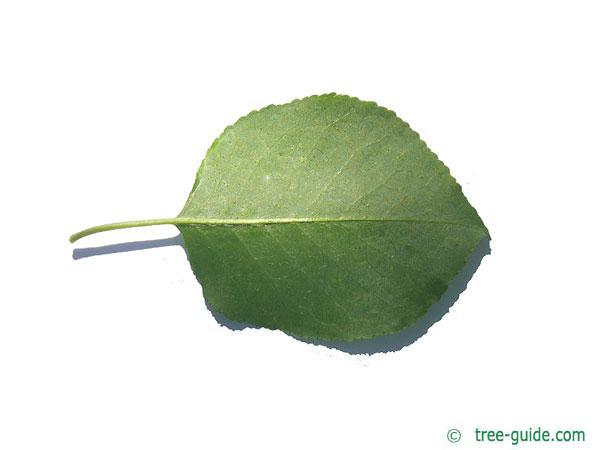 mahaleb cherry (Prunus mahaleb) leaf underside