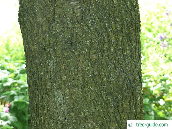 mahaleb cherry (Prunus mahaleb) trunk / bark