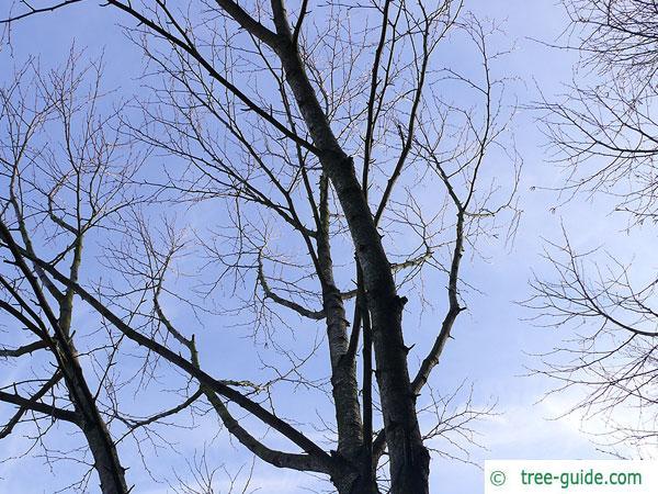 maximowicz birch (Betula maximowicziana) crown in winter