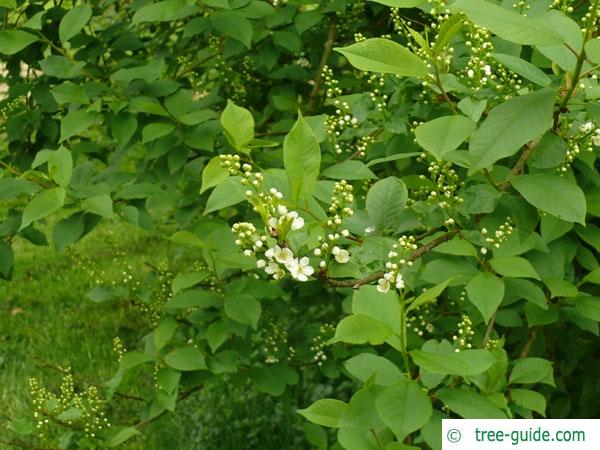 bird cherry (Prunus padus) blossom