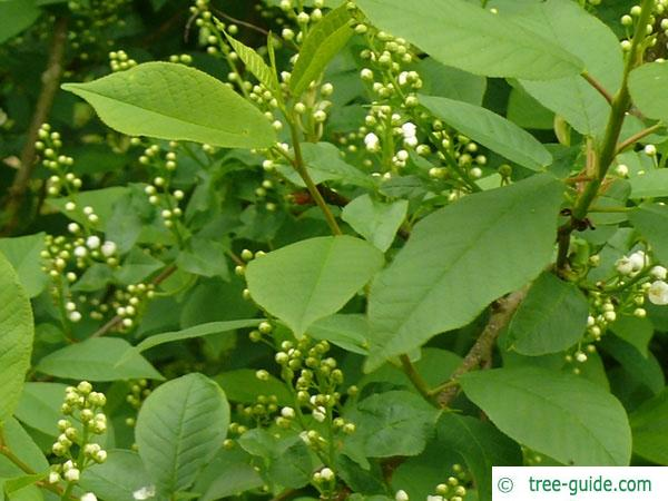 bird cherry (Prunus padus) leaves and flower buds