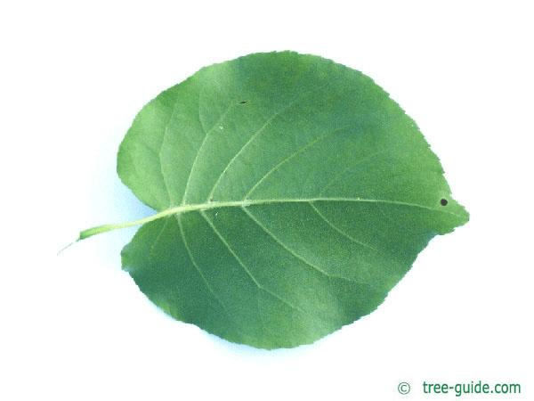 bird cherry (Prunus padus) leaf underside