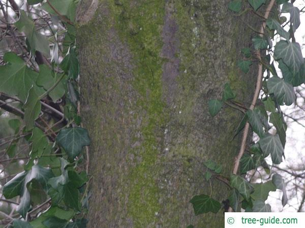 bird cherry (Prunus padus) trunk / bark