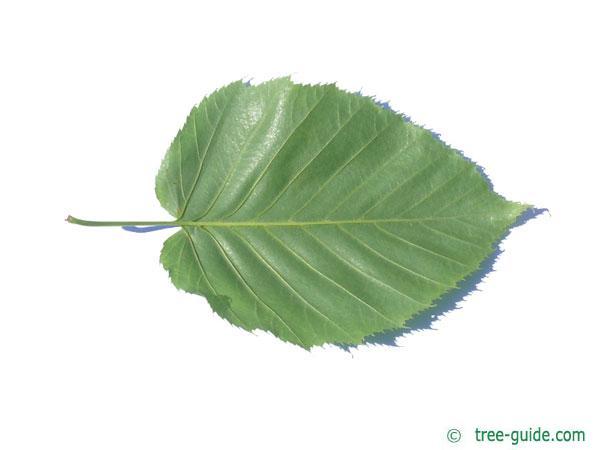 monarch birch (Betula maximowicziana) leaf underside