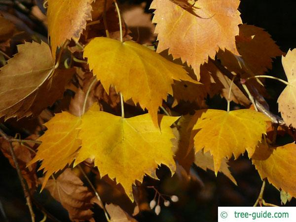 mongolian lime (Tilia mongolica) autumn foliage