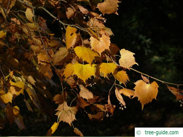 mongolian lime (Tilia mongolica) leaves in autumn