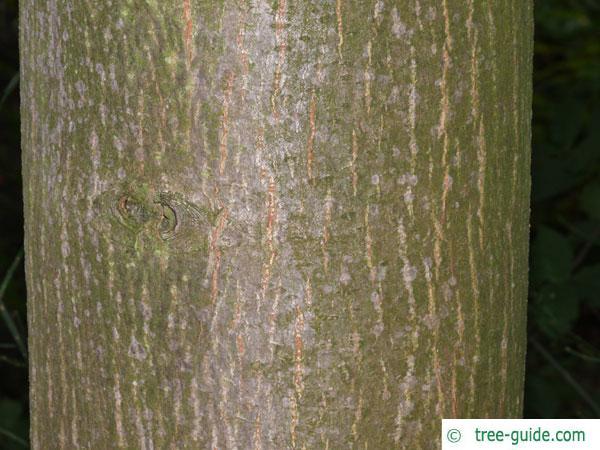 mongolian lime (Tilia mongolica) trunk / bark